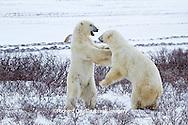 01874-12517 Two Polar bears (Ursus maritimus) sparring in winter, Churchill Wildlife Management Area, Churchill, MB Canada