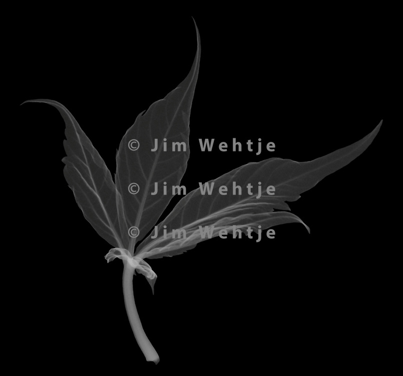X-ray image of a Virginia creeper leaf (Parthenocissus quinquefolia, white on black) by Jim Wehtje, specialist in x-ray art and design images.