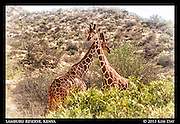 Giraffe pause in the middle of fighting<br /> Samburu National Reserve, Kenya<br /> September 2012