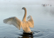 © Licensed to London News Pictures. 14/10/2012. Richmond, UK A swan cleans itself in a lake. Early morning mist and sunshine in Richmond Park, Surrey, today 14th October 2012. Photo credit : Stephen Simpson/LNP