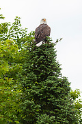 An American Bald Eagle perched in a tree along Trout Lake in the Northwoods village of Boulder Junction, Wisconsin.