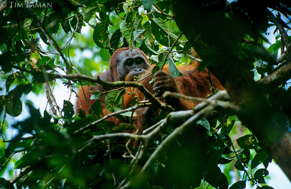 Young male Bornean Orangutan (Pongo pygmaeus) feeding on Baccaurea fruit in the rain forest in Borneo.  Gunung Palung National Park, West Kalimantan, Indonesia.