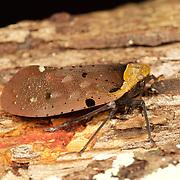 Penthicodes atomaria, fulgoroid, Nam Nao National Park, Thailand.