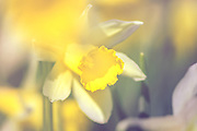 Narcissus sp.