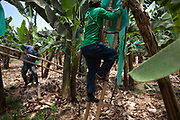 A banana cutter scales a ladder while working at a plantation of Fairtrade-certified APPBOSA in Peru.