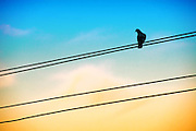 Bird on Cable during sunset