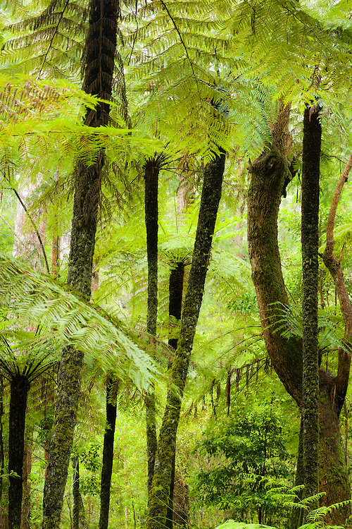 Tree ferns (Cyathea cooperi) growing in a thick formation within Lamington National Park.