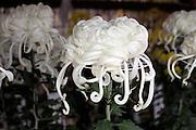decorative irregular incurve Chrysanthemum flower head called in Japanese Ogiku at a plant show