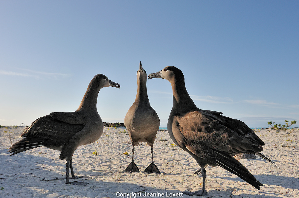 Three black footed albatross do a courtship dance kicking up sand.