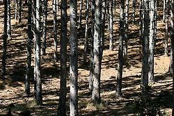SPAIN ARAGON HUESCA CASTILLO DE LOARRE 25AUG05 - Pine forest near the Castillo de Loarre...jre/Photo by Jiri Rezac..© Jiri Rezac 2005..Contact: +44 (0) 7050 110 417.Mobile:  +44 (0) 7801 337 683.Office:  +44 (0) 20 8968 9635..Email:   jiri@jirirezac.com.Web:     www.jirirezac.com..© All images Jiri Rezac 2005 - All rights reserved.