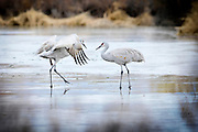 mkb010714b/metro/Marla Brose/010714<br /> A couple of sandhill cranes venture onto the melting ice covering a pond at the Rio Grande Nature Center State Park, Tuesday, Jan. 7, 2014, in Albuquerque, N.M. <br /> (Marla Brose/Albuquerque Journal)