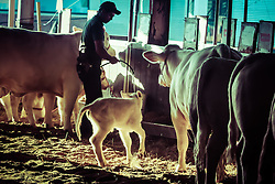 Gado da raça Charolez nos pavilhões da 38ª Expointer, que ocorrerá entre 29 de agosto e 06 de setembro de 2015 no Parque de Exposições Assis Brasil, em Esteio. FOTO: Vilmar da Rosa/ Agência Preview
