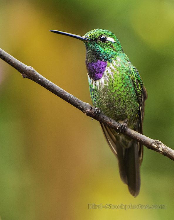 Purple-bibbed Whitetip, Urosticte benjamini, Ecuador, by Owen Deutsch