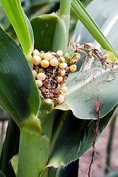 22 July 2012:   Shot near Lake Bloomington in McLean County of Illinois, a field of corn stands parched and stunted from the lack of rain during the drought of 2012.  The shortness of the stalks is just the start.  The ears are small, some are rotting and drying on the stems, and what should be yellow kernels are more a milky white.