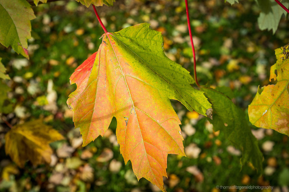 A close up image of a single leaf which has started to turn colour in Autumn. The leaf is still half green, but it's colours are hafl turned to yellow and a rich red colour