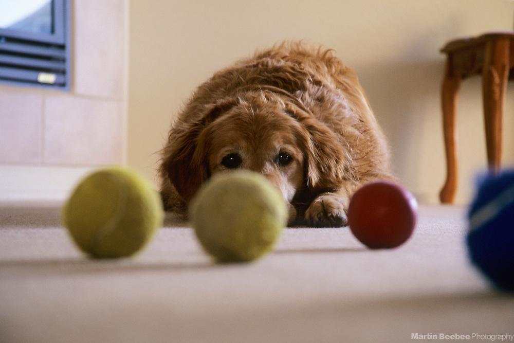 Golden retriever and tennis balls