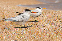 Guana River State Park, Florida -- Royal Tern, Thalasseus maximus, is found only along ocean beaches. The royal tern feeds by plunge-diving for fish and breeds along coast from Maryland to Texas, wandering further south in summer.