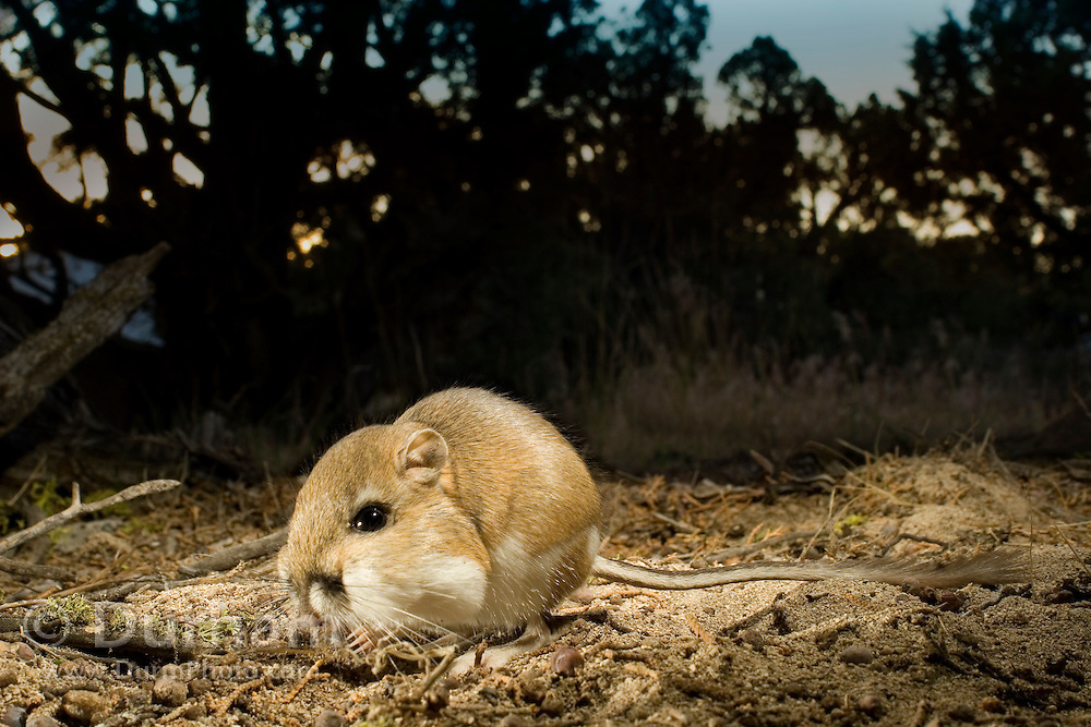 An ord's kangaroo rat (Dipodomys ordii) filling its cheek pouches at night. Ochoco National Forest, Oregon.