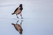 This crow were walking on a wet sandy beach. The water on the sand made the beach into a mirror with god reflection oportunities | Dene kråken gikk på en våt sandstrand. Vatnet på sanden gjorde stranda om til et stort speil med gode muligheter for refleksjonsbilder.