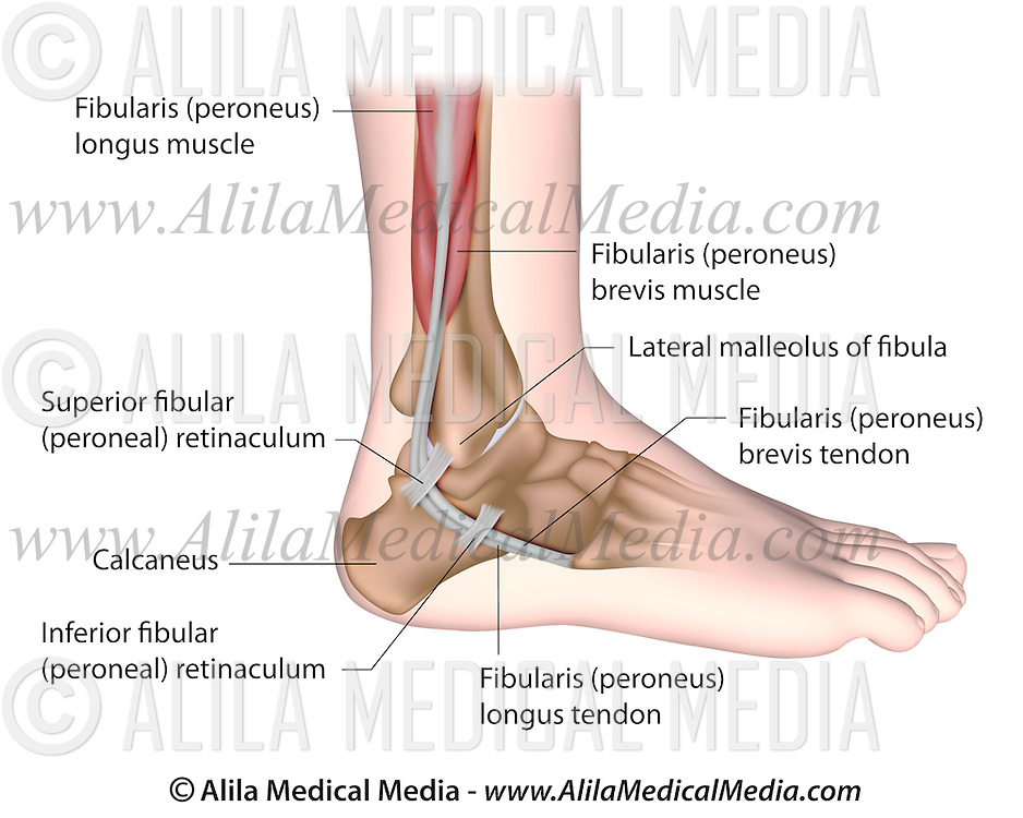 Peroneal tendons anatomy | Alila Medical Images