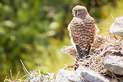 A kestrel surveys the downland for prey. Isle of Purbeck, Dorset, UK.