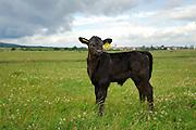 Galloway Kalb in der Halboffenen Weidelandschaft oder Hudelandschaft in Crawinkel. Das Galloway-Rind stammt aus Südwest-Schottland und ist eine für die ganzjährige Freilandhaltung geeignete klein- bis mittelrahmige hornlose Robust-Rasse.