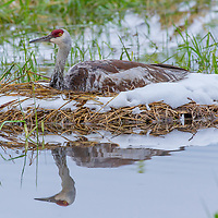 Sandhill crane on nest, Bozeman, Montana
