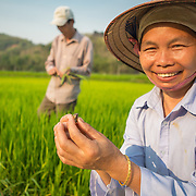CAPTION: Sien, Chung's wife pulls out harmful insects that damage the rice crop, something she learned from her husband after he received training. LOCATION: Coong Village, Huy Tuong, Son La Province, Vietnam. INDIVIDUAL(S) PHOTOGRAPHED: Ha Thi Sien.
