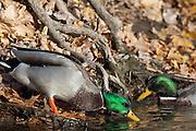 Mallard, Anas platyrhynchos, male, Paint Creek, Rochester, Michigan