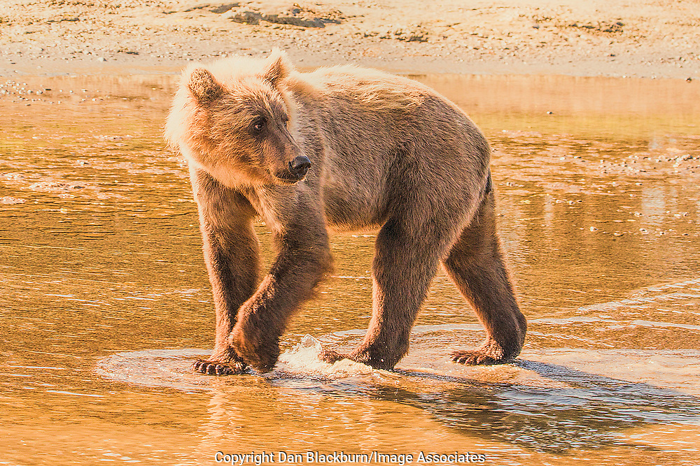 Young Grizzly Bear Cub in the Water in Late Afternoon