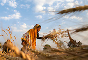Agricultural workers harvest wheat in Rajoda, India.