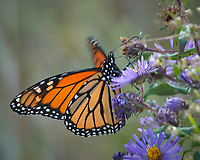 Monarch Butterfly Feeding on a Purple Wildflower. Image taken with a Nikon D2xs camera and 80-400 mm telephoto zoom lens (ISO 400, 400 mm, f/8, 1/100 sec).