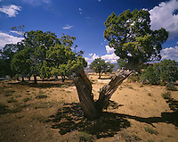 AA03479-04...COLORADO - Juniper trees near Plug Hat Butte in Dinosaur National Monument.