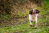 Springer Spaniel running towards camera with tongue out