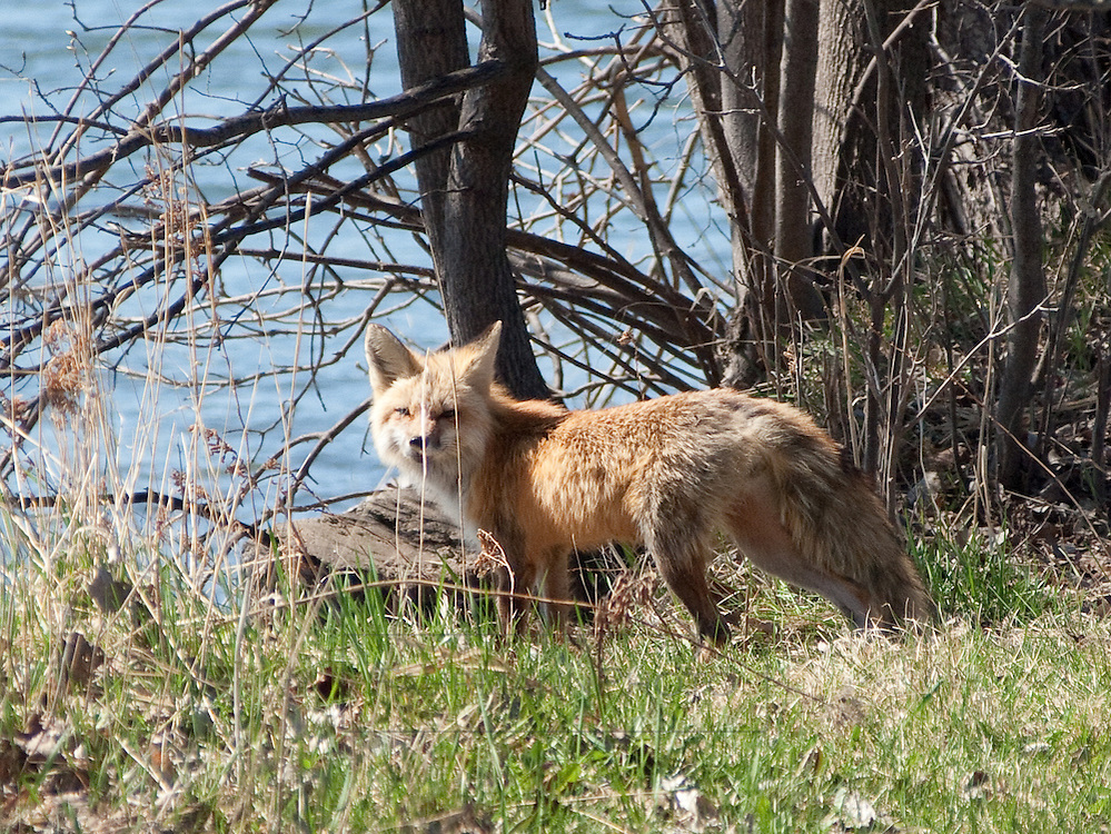A rare view of a fox near the shores of Lake Nokomis.  This is the first time in over 11 years of photographing Lake Nokomis that I have seen one near the lake.
