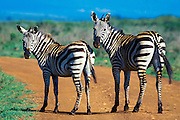 Two Bushnell's zebras on a road in the Nairobi National Park, Kenya, Africa