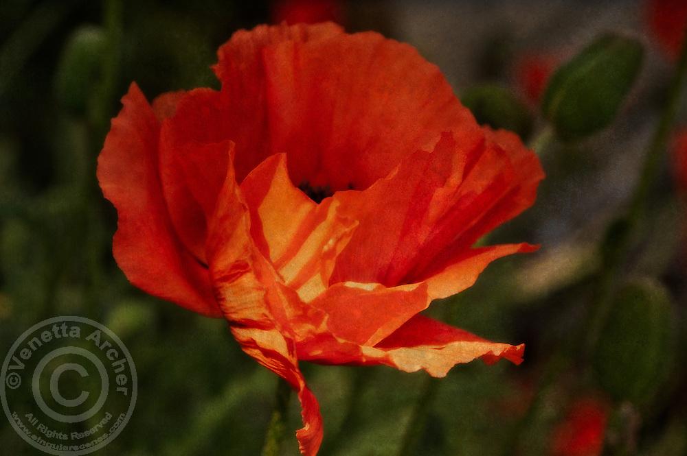 A striking red poppy.