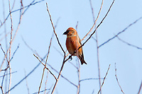 A male Red Crossbill sits in a willow tree early in February supporting its red plumage.
