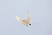 Red Tailed Tropic Bird hovering, Midway Atoll