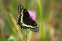 Palamedes swallowtail fully spread to show its beautifully patterned wings deep in Central Florida's remote Okaloacoochee Slough, which is sort of a no-man's land between Lake Okeechobee and the Florida Everglades.