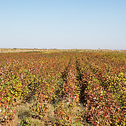 A cotton field, southern Turkmenistan