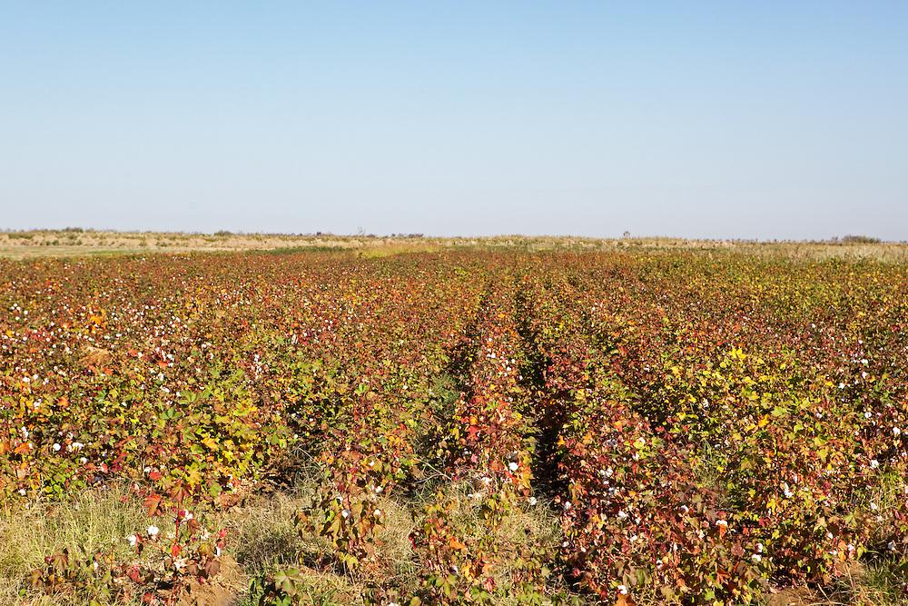 A cotton field, southern Turkmenistan