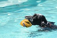 A springer spaniel show dog retrieves from a pool.