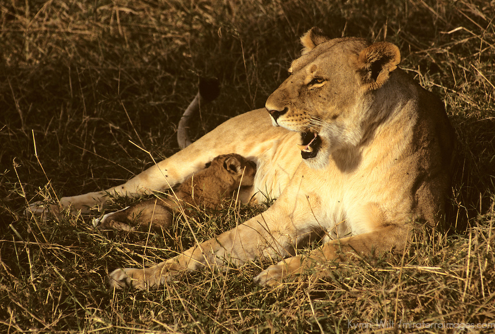 Africa, Kenya, Maasai Mara. A mother lioness cares for her cub in the Maasai Mara, Kenya.
