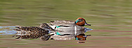 Green-winged teal pair gliding across pool in stream, Yellowstone National Park, © 2019 David A. Ponton