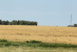 Field of hay, straw or wheat growing in rural Minnesota near I90