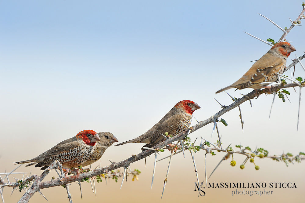 The Red-headed Finch (Amadina erythrocephala) (also known as the Paradise Finch or the Red-headed Weaver) is a common species of estrildid finch found in Africa. It has an estimated global extent of occurrence of 1,600,000 km². It is found in Angola, Botswana, Lesotho, Namibia, South Africa and Zimbabwe.....Males have vibrant red heads and chests while the females are duller. The resemblance to the Cutthroat finch is unmistakable. The Red Head and Cut-throat Finch are the only members of the genus Amadina. Amadinas with their heavy beaks resemble members of the Lonchura, so they are actually more closely related to the Pytilias such as the Melba finch.