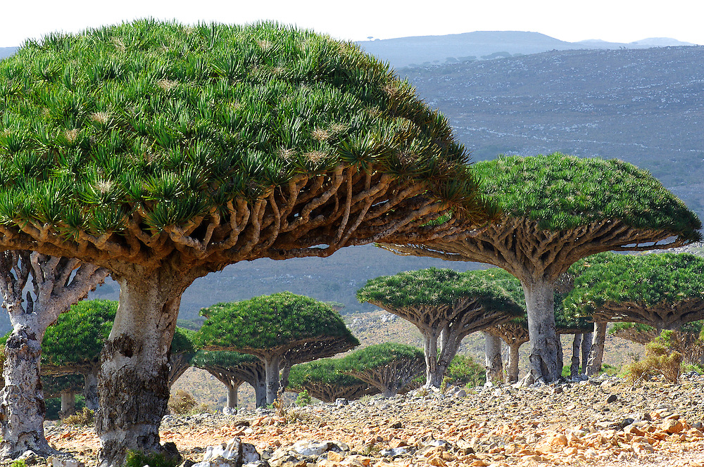 Dragon Tree (Draceana cinnabari) is a relic plant native to the Socotra archipelago in the Indian Ocean. Is found not lower that 300m of height. It is so called due to the red sap that the trees produce and is used for producing dyes and varnish. Diksam upland, Socotra island, Yemen. Dormant and indecisive, the island of Socotra has floated for millions of years between Africa and the Arabian peninsula. Such isolation makes it the ideal sanctuary for vegetation that has endured since the Tertiary period (65-2 million years ago), and a peaceful refuge for a vibrant aboriginal culture, an island shrouded in mystery and dark secrets.