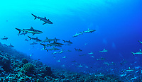 Gray reef sharks, Carcharhinus amblyrhynchos, Fakarava, French Polynesia;