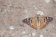 Hackberry Emperor that has settled on the ground at Hickories Park in Owego, NY